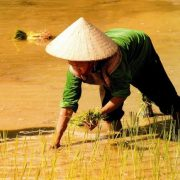 People of Sapa in Vietnam : woman with a conical hat working on the rice fields